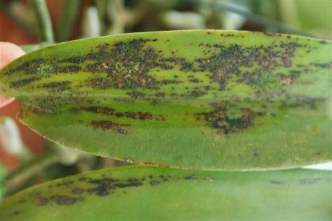 Bệnh khô lá Leaf blight