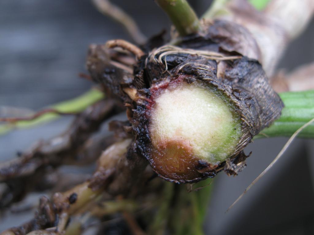 Bệnh héo rễ Wilt hại cây hoa lan cattleya