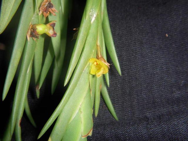 Lan Hoàng thảo đỏ - Dendrobium concinnum