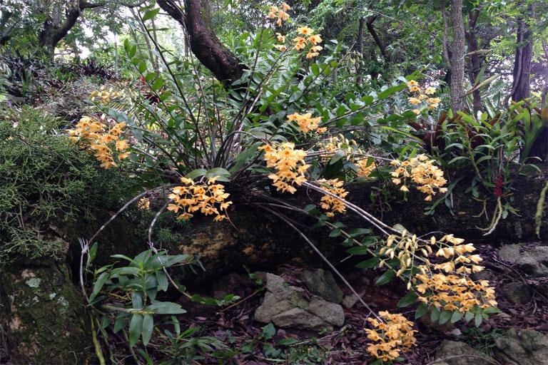 THái Bình - Dendrobium moschatum