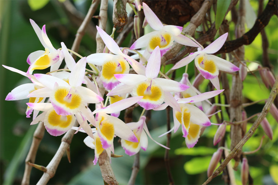 Cách trồng và chăm sóc dòng lan rừng Denbrobium, hoàng thảo