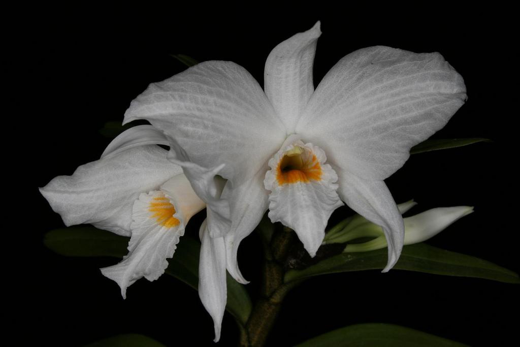 Lan hoàng thảo bù đăng - Dendrobium infundibulum