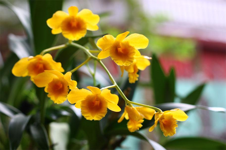 Những quy tắc chăm sóc cho dendro - Dendrobium chrysotoxum