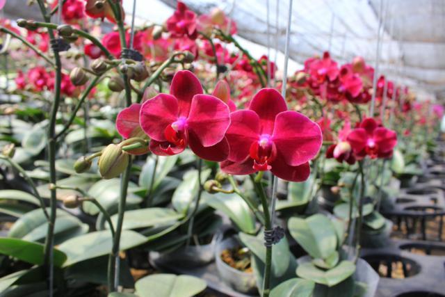Cách trồng các loại giống Hồ điệp - Phalaenopsis