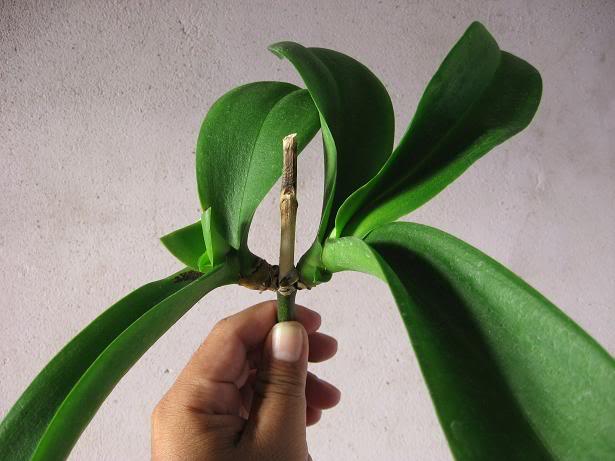 Nhân giống hoa lan hồ điệp bằng cách tạo chồi sinh dưỡng từ phát hoa