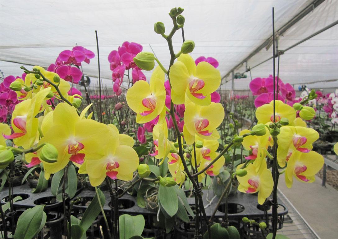 Hoa phong lan hồ điệp