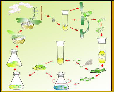 Quy trình nhân giống lan hồ điệp nuôi cấy từ phát hoa