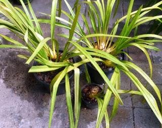 NHân giống địa lan bằng phương pháp phân nhánh