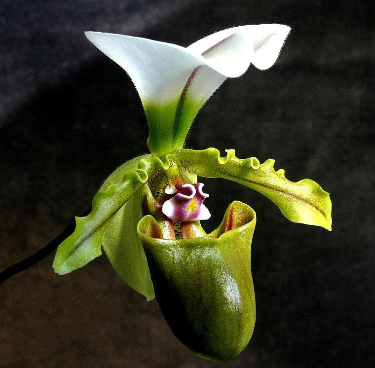 Lan hài Paphiopedilum spicerianum gordon