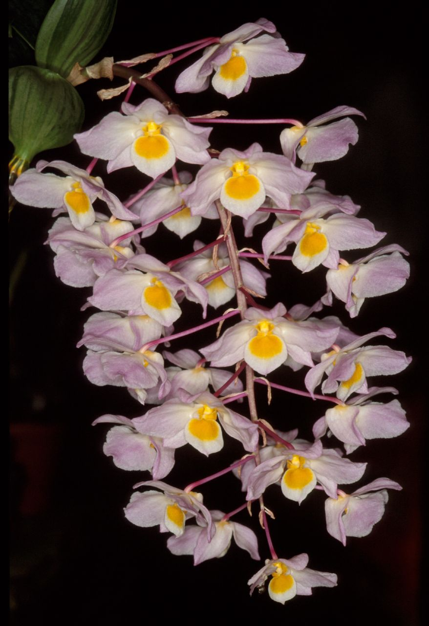 Thủy tiên tím, kiều tím, kiều hường, kiều hồng – Dendrobium amabile