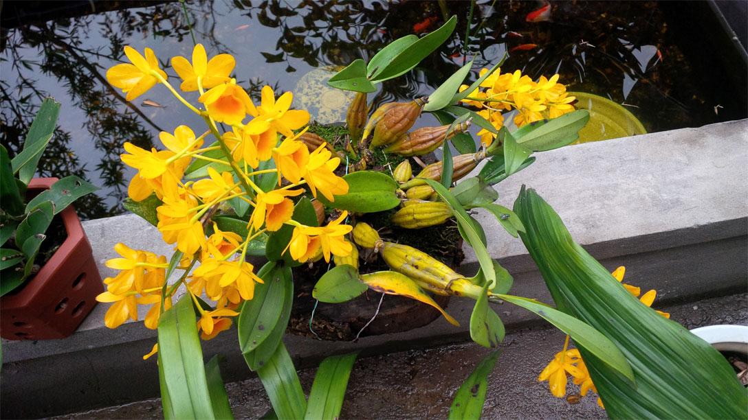 Thủy Tiên Vàng, Hoàng Lạp - Dendrobium chrysotoxum