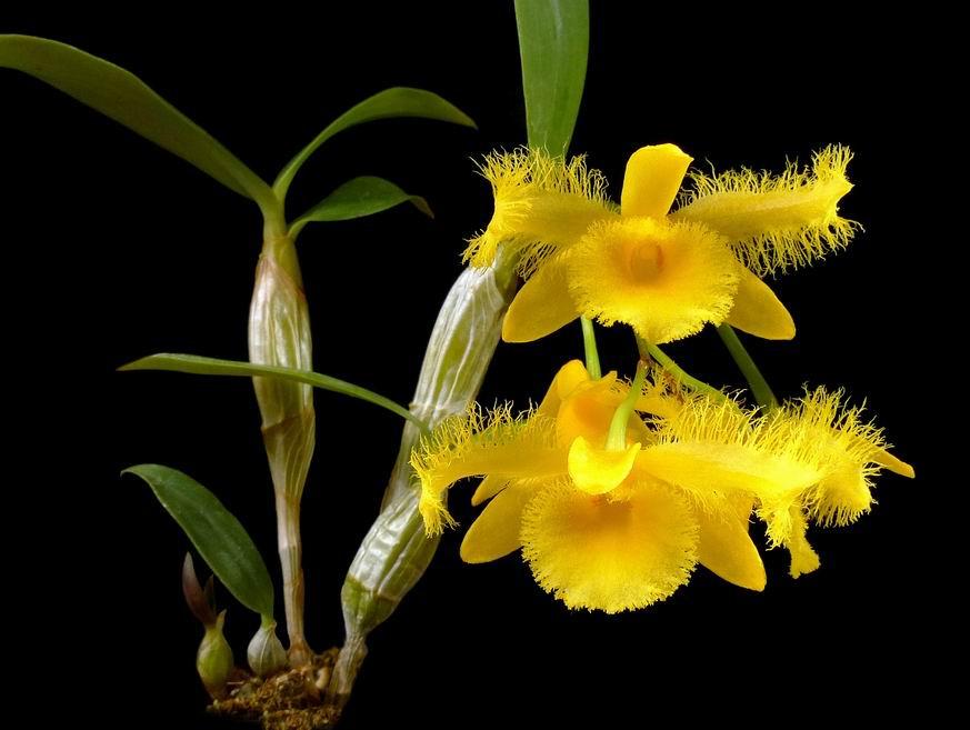 Thủy tiên tua, thủy tiên râu cánh - Dendrobium harveyanum