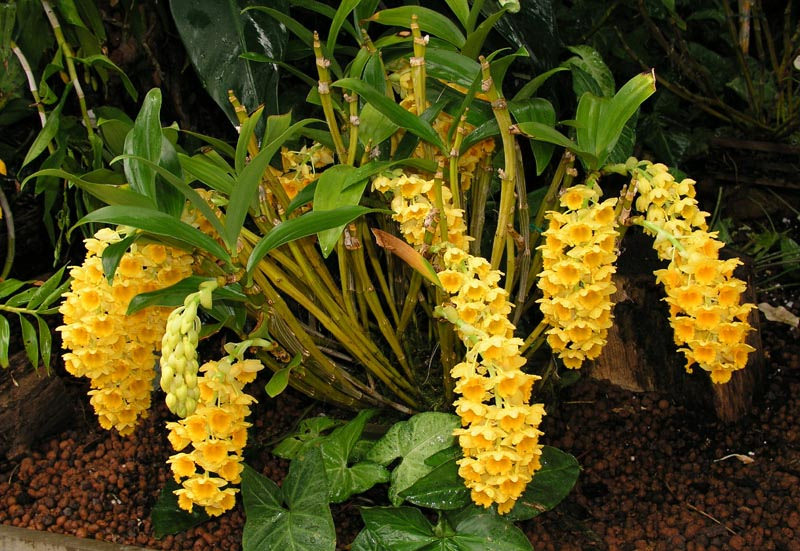 Thủy Tiên mỡ gà - Dendrobium densiflorum