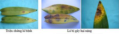 Triệu chứng đốm lá do Cercospora sp. trên Dendrobium