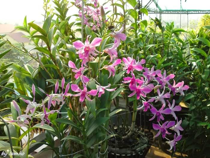 Cách chăm sóc lan dendrobium nở hoa đẹp