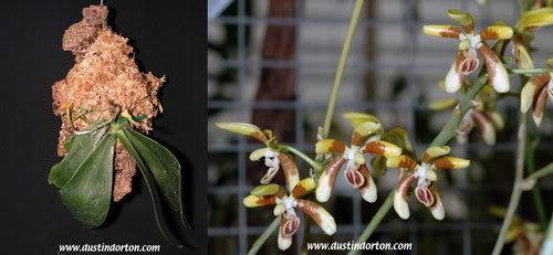 Phalaenopsis fuscata Rchob. f
