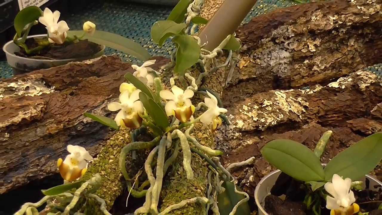 Phalaenopsis lobbii Rchob. f