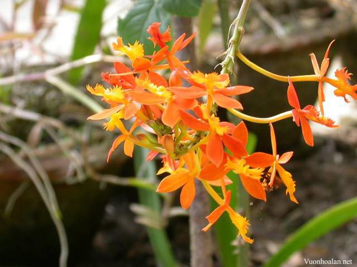 Epidendrum Radicans- hoa lan nở bất cứ vào thời điểm nào trong năm