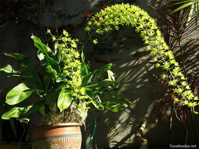 Grammatophyllum multiflorum - hoa phải 8-9 tháng mới tàn
