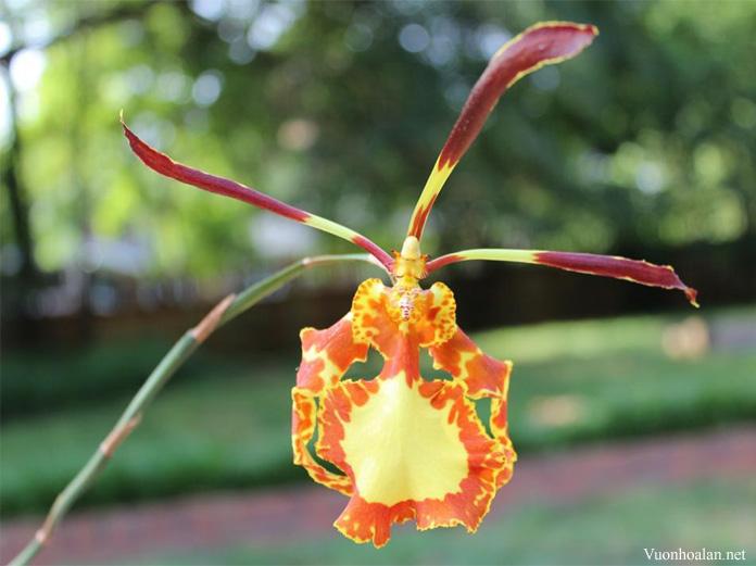 Psychopsis papilio- nở hoa từ 3-4 tuần và nở liên tiếp trong mấy tháng liền