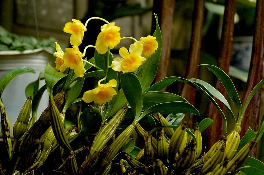 Hoàng thảo hoàng lạp - hoàng lan - nến vàng -  thủy tiên hoàng lạp - Dendrobium chrysotoxum