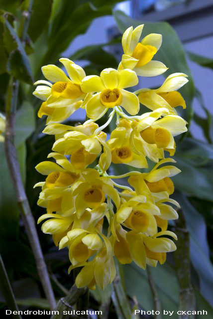 Thủy tiên dẹt - Dendrobium sulcatum