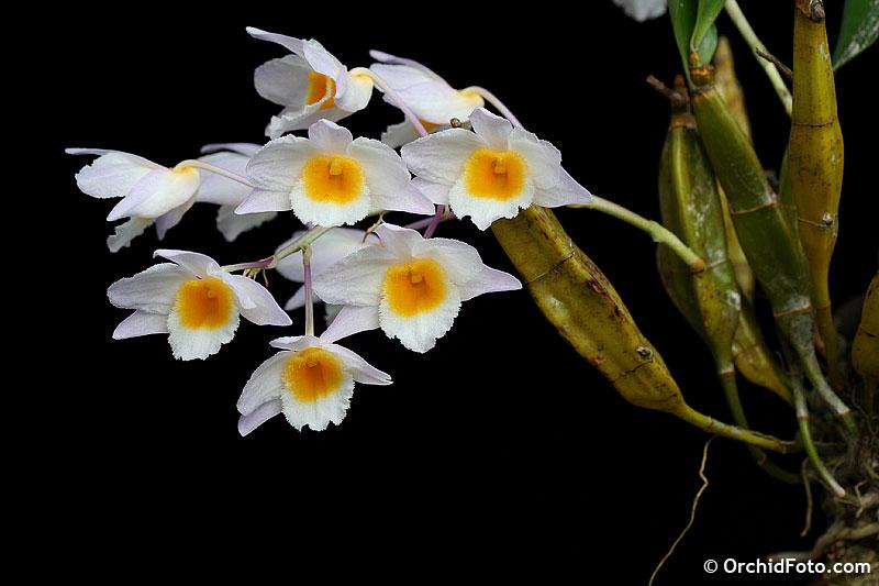 Thủy tiên trắng - Dendrobium farmeri