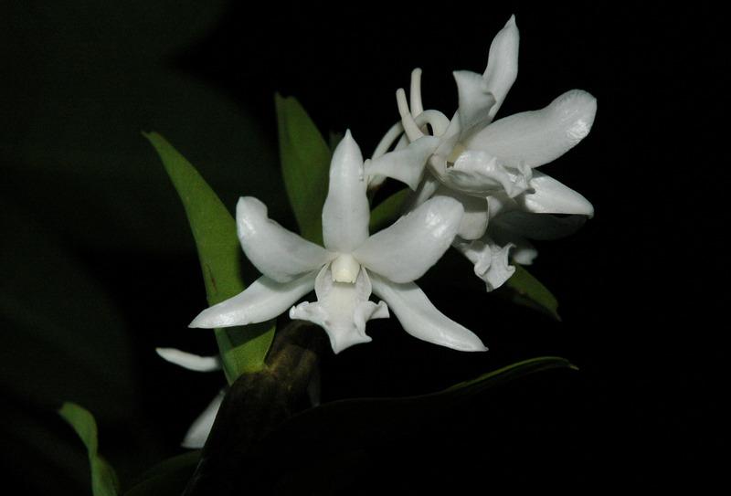 Hoàng thảo trinh bạch - Dendrobium schildhaueri