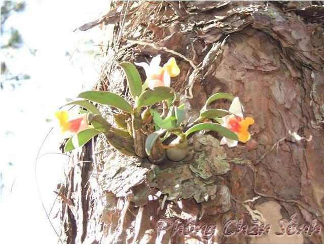 Bạch hỏa hoàng - Dendrobium bellatulum