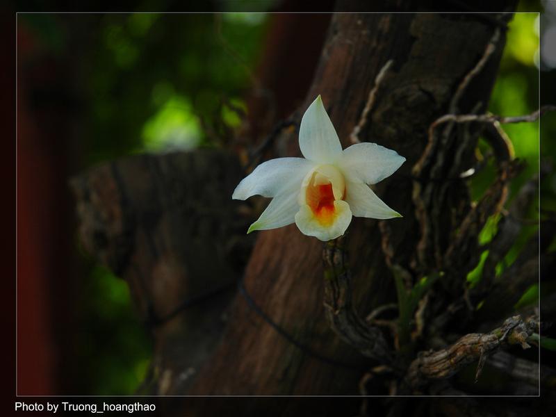 Đại bạch hạc - Dendrobium christyanum