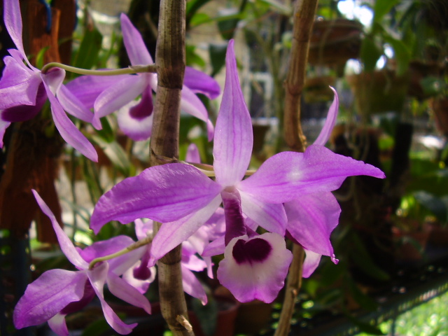 Hoàng thảo kèn - Dendrobium Lituiflorum
