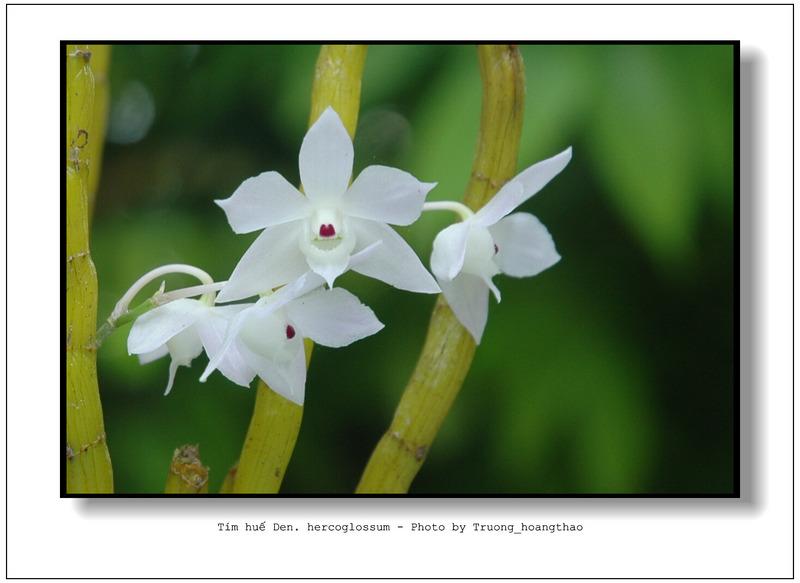Hoàng thảo tím huế - Dendrobium hercoglossum