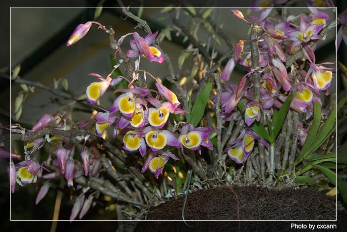Lan ý thảo hay lan hoàng thảo ý thảo - Dendrobium gratiosissimum