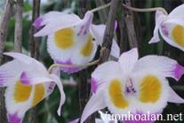 Hoàng thảo Tam bảo sắc - Dendrobium devonianum