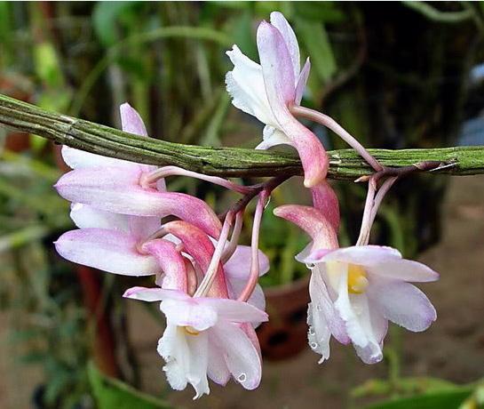 Hoàng thảo tích tụ - Dendrobium cumulatum