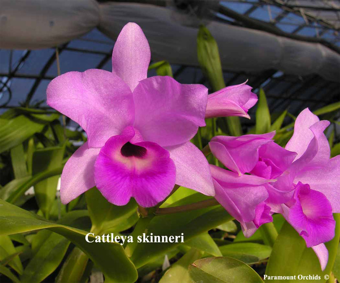 Hoa lan Cattleya skinneri