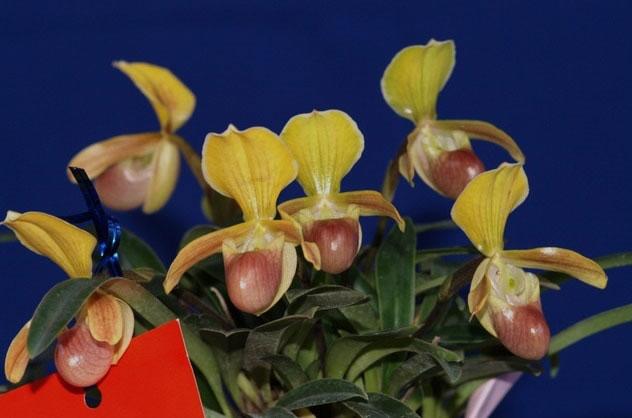 Lan hài helen Paphiopedilum helenae
