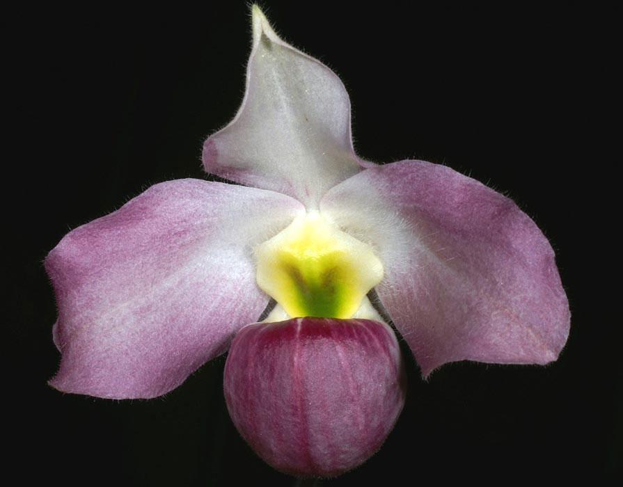Lan hài Paphiopedilum vietnamense.
