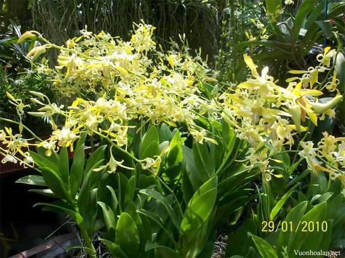Dendrobium – nếu ban đêm không lạnh xuống 50°F hay 10°C khoảng 3-4 tuần lễ cũng không ra hoa