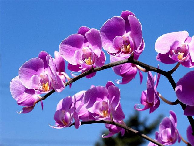 Lan hồ điệp màu tím là món quà thích hợp tặng mẹ