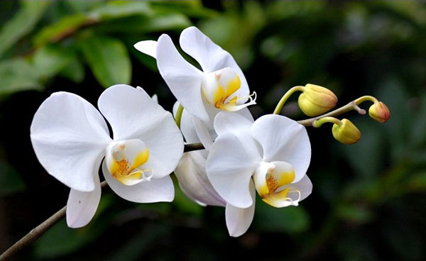 Lan hồ điệp màu trắng là biểu tượng của sự trong trắng