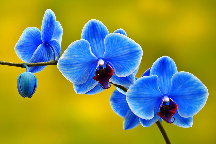 Lan hồ điệp màu xanh là biểu tượng cho sự quý giá