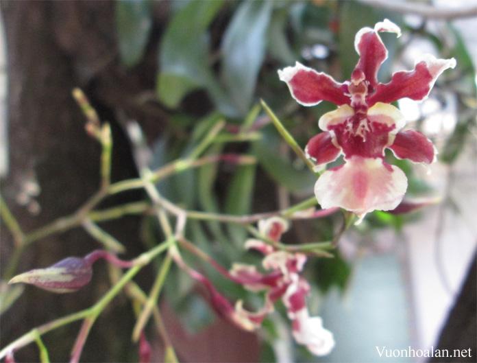 Phong lan vũ nữ - Oncidium ưa thích ánh sáng ngoài trời