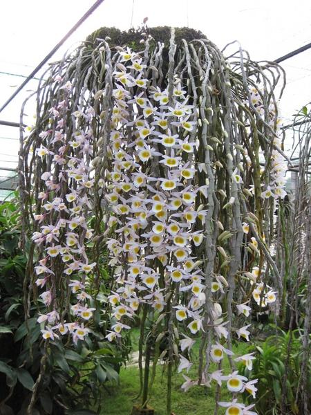 Hoàng thảo long tu - Dendrobium primulinum