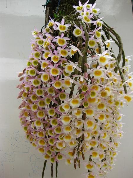 Long tu - Dendrobium primulinum