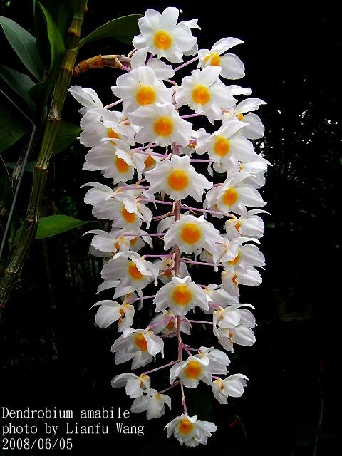 Thủy tiên tím - Dendrobium amabile