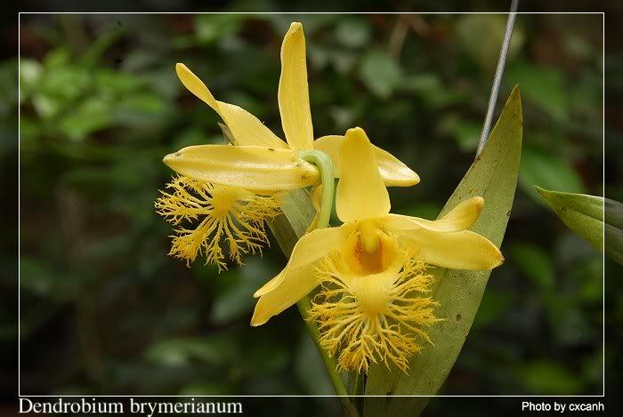 Thủy tiên râu mép, môi tơ - Dendrobium brymerianum