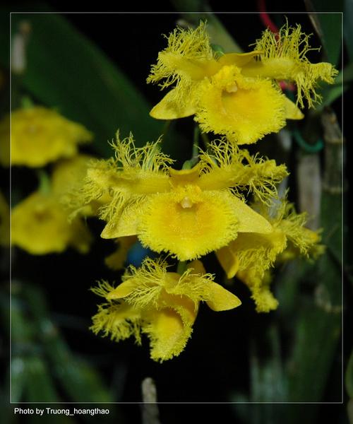 Thủy tiên tua - thủy tiên râu cánh - Dendrobium harveyanum