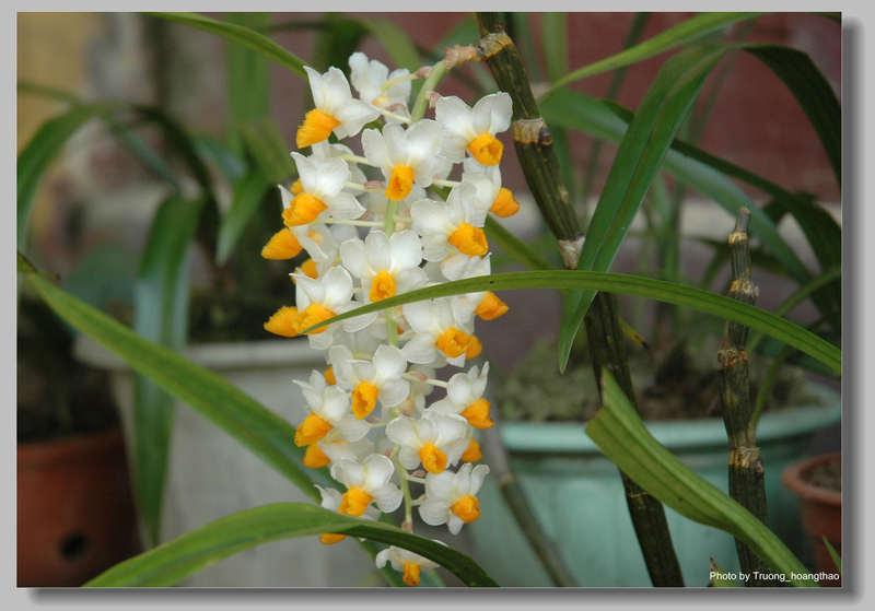 Thủy tiên vàng - Dendrobium thyrsiflorum