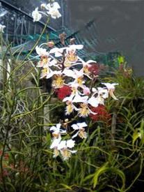 Papilionanthe pedunculata - Aerides pedunculata Kerr 1935